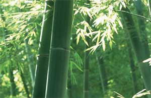 Bamboo growing in a forest